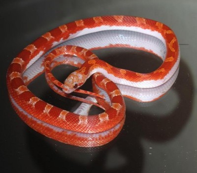 Hypo pied sided bloodred